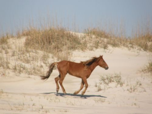 Wild Horse Running on a dune in Corolla, NC