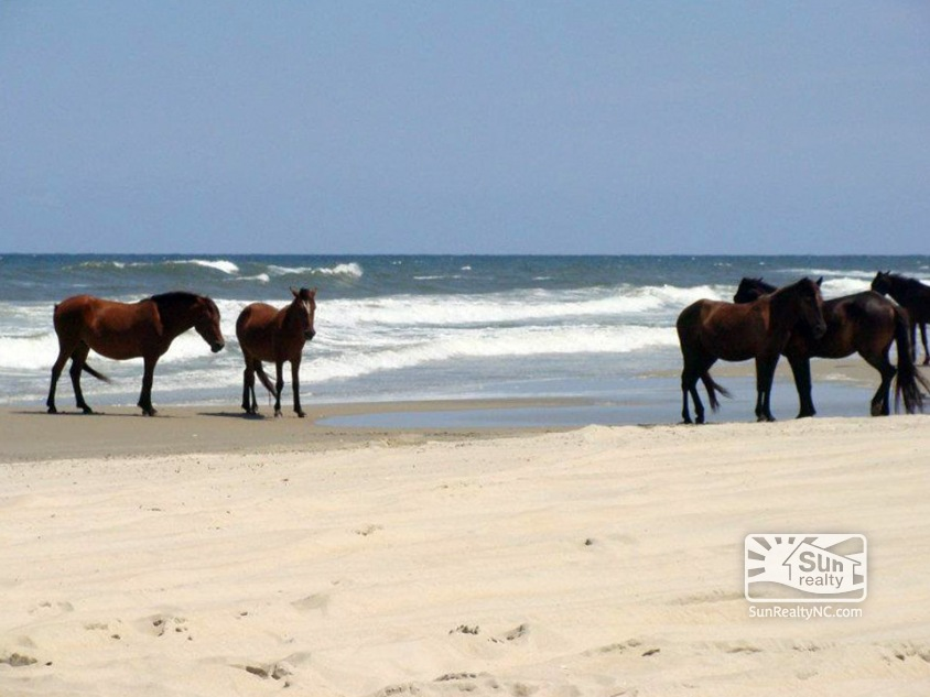Wild Horses on the Beach - Stay 50 Feet Away at ALL Times